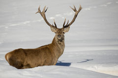 Deer on the snow background Royalty Free Stock Photography
