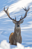 Deer on the snow background. Deer portrait on the snow background stock photos