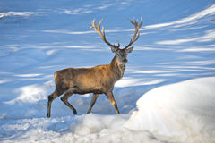 Deer on the snow background. Deer portrait on the snow background royalty free stock photos