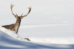 Deer on the snow background Stock Photo