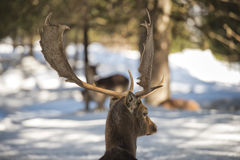 Deer on the snow background Royalty Free Stock Image