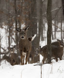 Deer in snow Royalty Free Stock Images