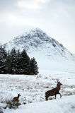 Deer in the snow at Glen Coe in Scotland Stock Image