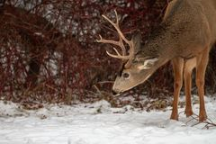 deer in the snow royalty free stock image
