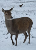 Deer in the Snow in Scotland Stock Images