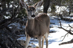 Deer in Snow Stock Image