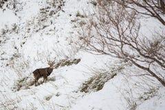 Deer. A deer on snow in winter Royalty Free Stock Image