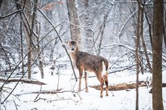 Deer on Snowy Field Under Bare Trees during Daytime Stock Photo