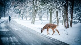 Deer on snowy forest road Royalty Free Stock Photos