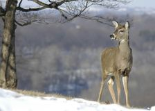 Deer on snowy hill royalty free stock images