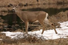 Deer in a Snowy Meadow Royalty Free Stock Images