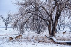 Deer on a Snowy Morning. Wild Deer on the High Plains of Colorado. Wild Deer In the Colorado Great Outdoors. White-tailed Deer Gathered in the Snow royalty free stock photos