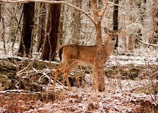Deer in Snowy Woods Royalty Free Stock Image