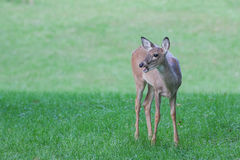 A deer with something to say. Deer with mouth open, could be used for caption or deer vocalizing Stock Photos