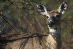 Deer in spring, Skyline Drive, Shenandoah National Park, VA Royalty Free Stock Photography