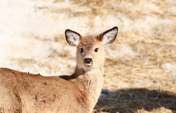 Deer during spring Royalty Free Stock Images