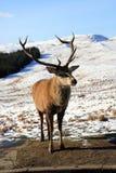 Deer Stag Stock Photos