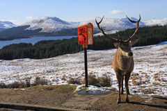 Deer Stag Royalty Free Stock Photos