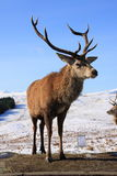 Deer Stag Royalty Free Stock Photo