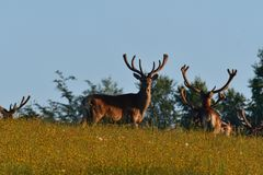 Deer stag with antler walking on the meadow. Green royalty free stock image