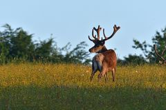 Deer stag with antler walking on the meadow stock photos