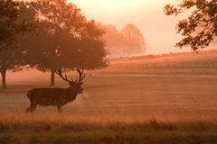 Deer stag with antlers, at sunrise. A silhouette of a deer stag, with antlers, taken as the sun rises above the mist royalty free stock images