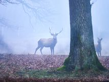 Deer stag in the autumn rut. In the foreest stock images