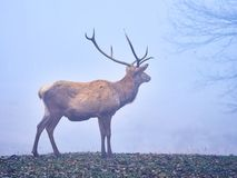 Deer stag in the autumn rut. In the foreest stock photo