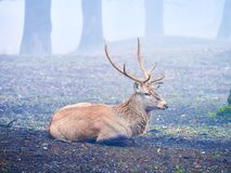 Deer stag in the autumn rut. In the foreest royalty free stock image