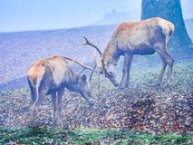 Deer stag in the autumn rut. In the foreest royalty free stock photography