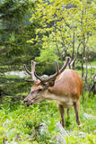 Deer stag eating grass Royalty Free Stock Photos