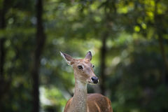 Deer stag in forest landscape. Deer in mating season background Royalty Free Stock Photo