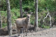 Deer stag with growing antler grazing close-up. Herd of deer stag with growing antler grazing the grass close-up deerskin walking royalty free stock photography