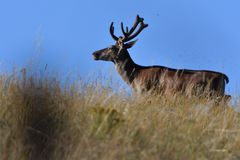 Deer stag with growing antlers walking on the meadow and grazing grass. Herd of deer with antlers running down the meadow towards the forest stock photo