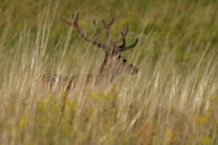 Deer stag with growing antlers walking on the meadow and grazing grass. Herd of deer with antlers running down the meadow towards the forest stock images