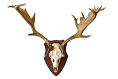 Deer stag isolated hunting trophy royalty free stock photos