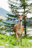Deer stag looking at camera, lake in background Royalty Free Stock Photography