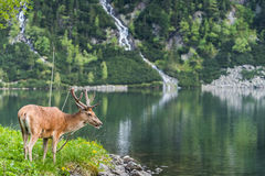 deer stag over alpine pond in Poland Stock Photos