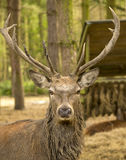 Deer stag Stock Images