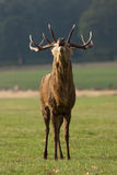 Deer stag roaring Stock Photos