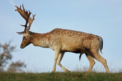Deer Stag Side-on Stock Image