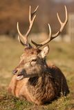 Deer stag sitting Stock Photos