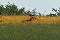 Deer stag sitting and sleeping on the meadow grass stock image