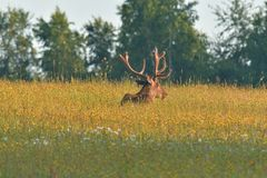 Deer stag sitting and sleeping on the meadow grass royalty free stock image
