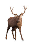 Deer stag Royalty Free Stock Photography