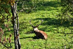 Deer stag to lie and resting down in the forest. Deer stag with antlers to rut on the meadow stock photography