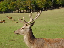 Deer stags Stock Photo
