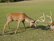 Deer stags Royalty Free Stock Photo