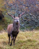 Deer Stalking 6. Red Stag at the Ardverikie Estate in the Scottish Highlands; better known as the backdrop for the BBC Series Monarch of the Glen Stock Photos