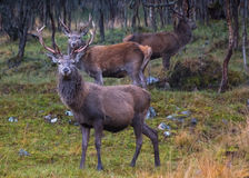 Deer Stalking 5. Red Stag at the Ardverikie Estate in the Scottish Highlands; better known as the backdrop for the BBC Series Monarch of the Glen Stock Photography